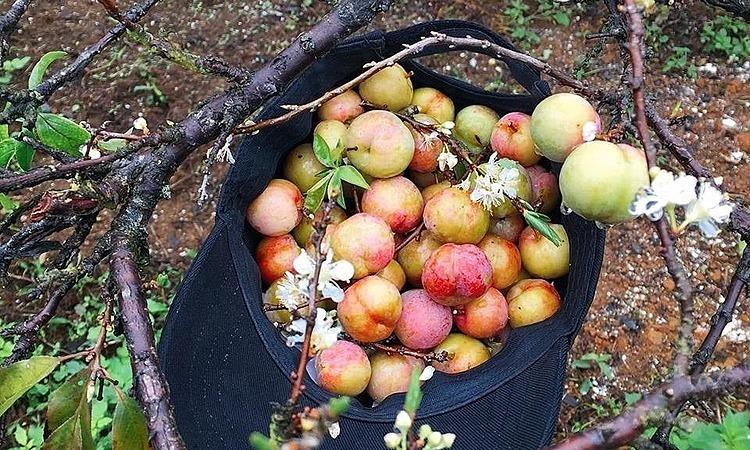 Mận Mộc Châu trái mùa có nơi rao bán trên 200.000 đồng một kg. Ảnh: ST.
