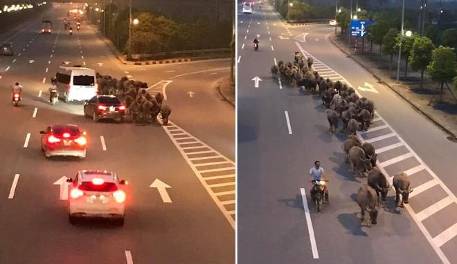 Nghênh ngang dắt đàn trâu đi ngược chiều trên đường cao tốc ở Hà Nội - 1