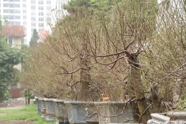 Hà Nội: Bưởi cảnh, đào khủng đua nhau xuống phố đón Tết - 11
