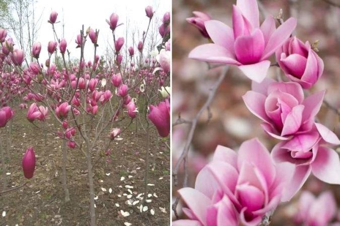 Người Hà Nội chi tiền triệu đặt mua cây hoa đẹp lạ chuẩn bị chơi Tết - Ảnh 3.