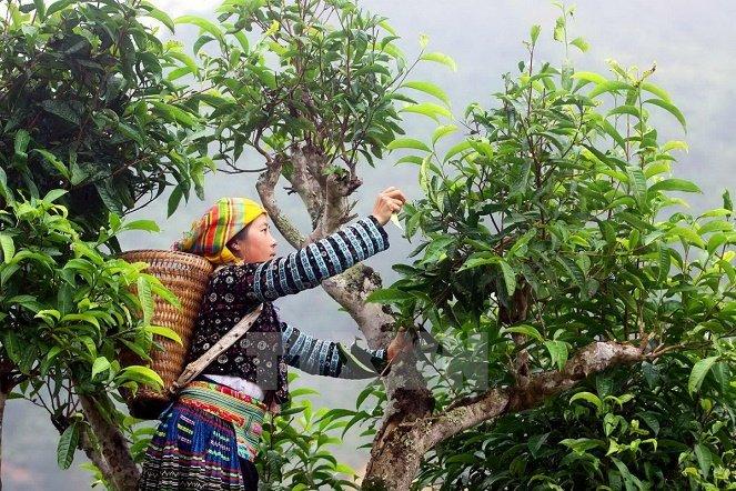 """Chè Shan Tuyết ngậm sương núi, """"tiền chát, hậu ngọt"""" giá 2 triệu đồng/kg vẫn không có để mua - Ảnh 2."""