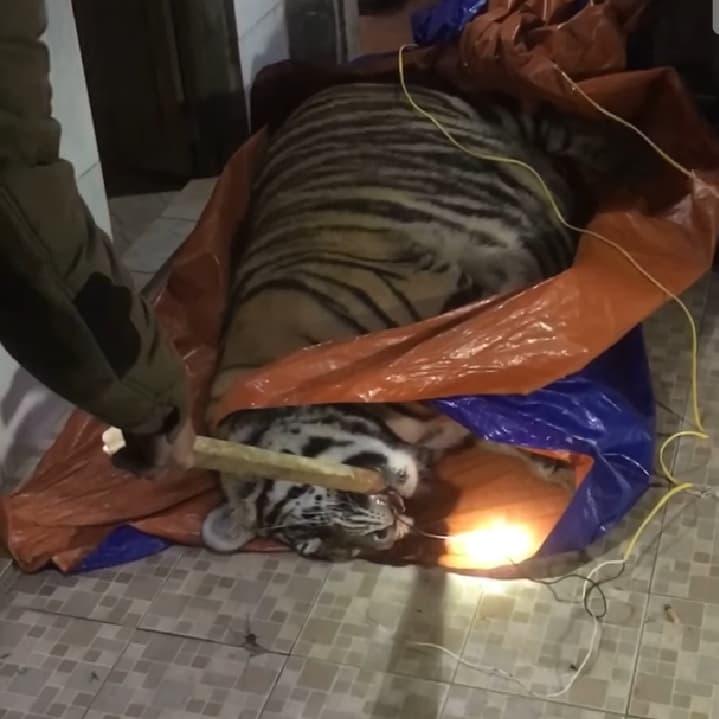 Tá hoả phát hiện một cá thể hổ nặng 2,5 tạ xuất hiện trong nhà dân - Ảnh 1.