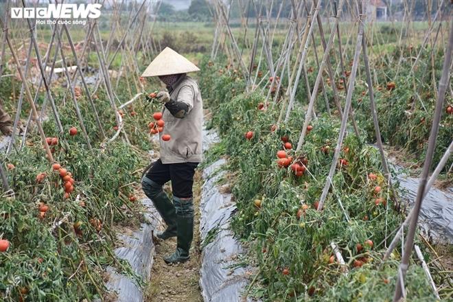 Xót xa nông sản không bán được, bị vứt bỏ đầy đồng ở Hải Dương - Ảnh 6.
