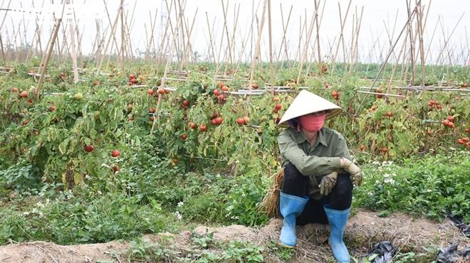 Xót xa nông sản không bán được, bị vứt bỏ đầy đồng ở Hải Dương - Ảnh 5.