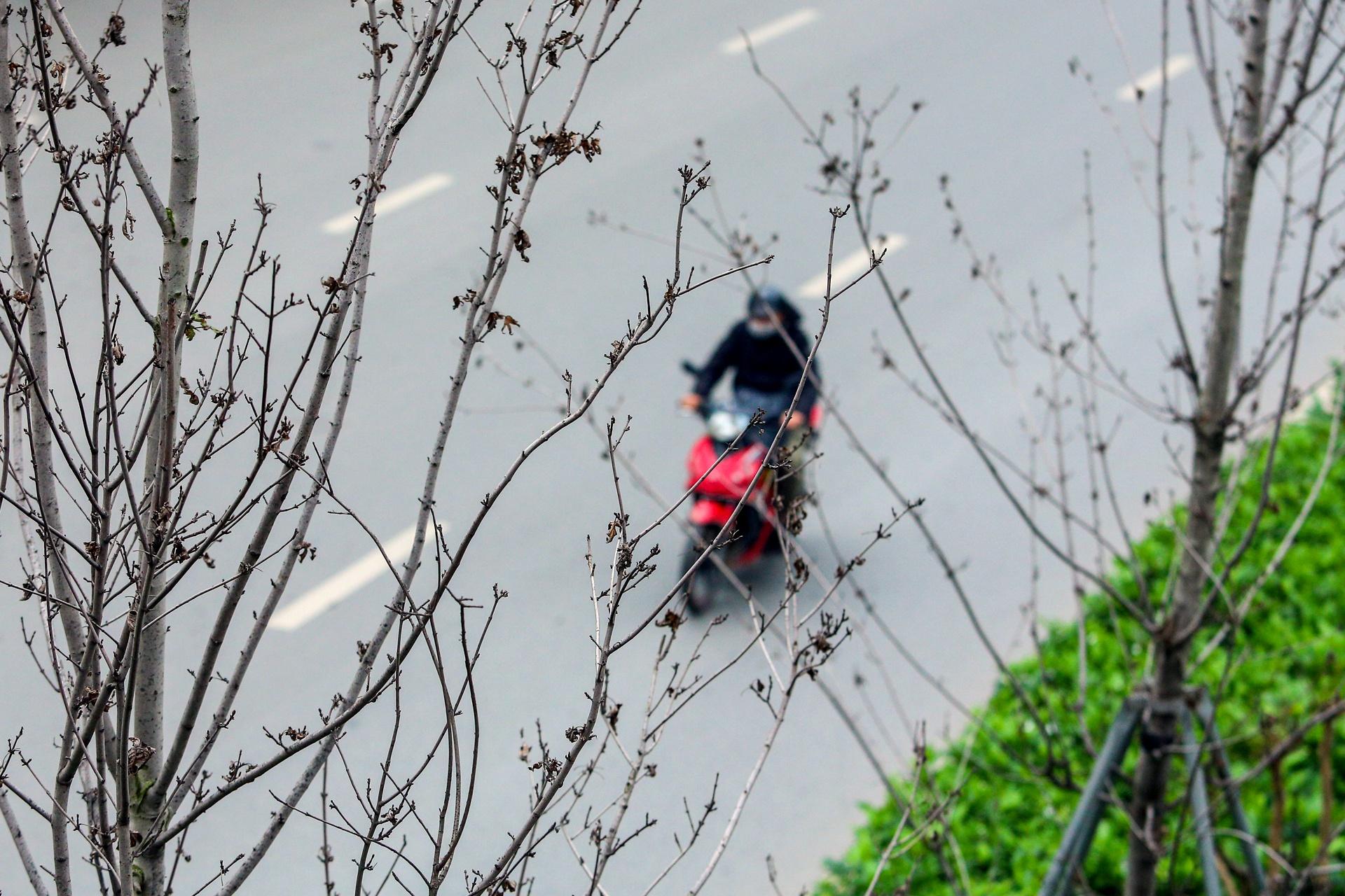 Cái chết của những cây phong lá đỏ ở Hà Nội - Ảnh 8.