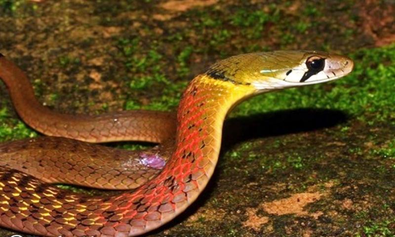 Bé gái 15 tháng tuổi tử vong thương tâm sau khi bị rắn hoa cổ đỏ cắn khi đang chơi ngoài sân nhà - Ảnh 1.