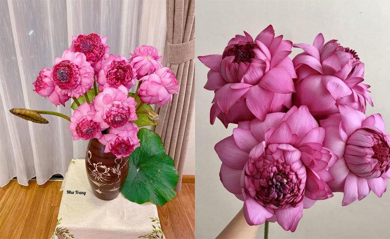 Sốt hoa sen ngàn cánh chào hè, chị em Hà thành ráo riết lùng mua - Ảnh 5.