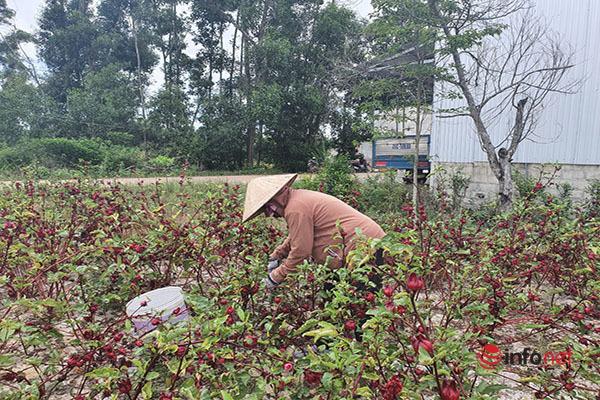 Trồng loài cây chỉ lấy hoa đỏ, mỗi năm người dân thu cả trăm triệu đồng - Ảnh 3.
