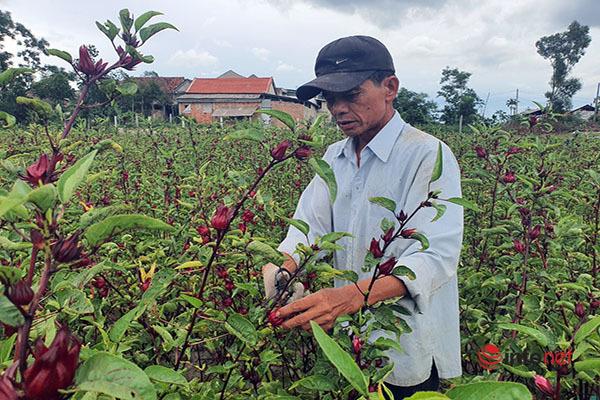 Trồng loài cây chỉ lấy hoa đỏ, mỗi năm người dân thu cả trăm triệu đồng - Ảnh 1.