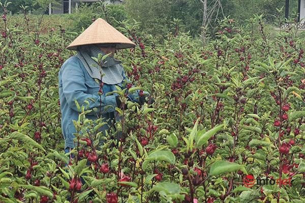 Trồng loài cây chỉ lấy hoa đỏ, mỗi năm người dân thu cả trăm triệu đồng - Ảnh 2.