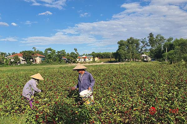 Trồng loài cây chỉ lấy hoa đỏ, mỗi năm người dân thu cả trăm triệu đồng - Ảnh 4.