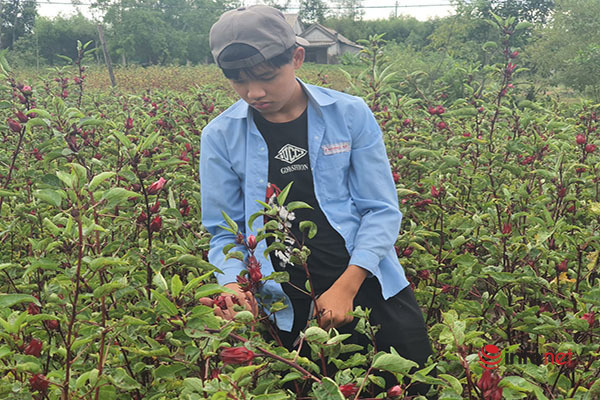 Trồng loài cây chỉ lấy hoa đỏ, mỗi năm người dân thu cả trăm triệu đồng - Ảnh 5.