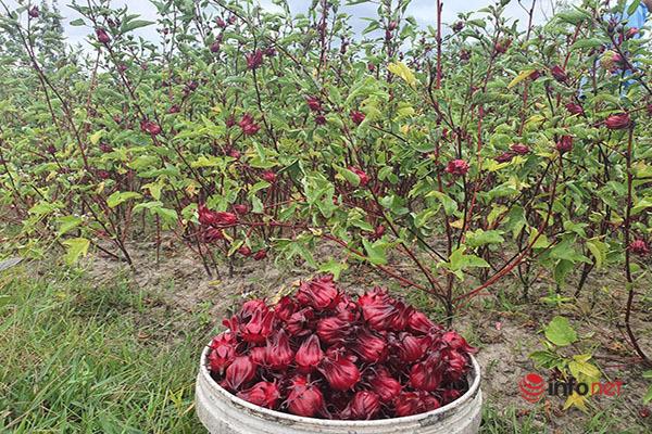 Trồng loài cây chỉ lấy hoa đỏ, mỗi năm người dân thu cả trăm triệu đồng - Ảnh 6.