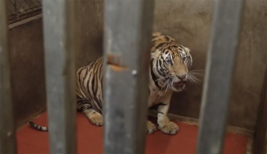 Vụ phát hiện 17 cá thể hổ trưởng thành trong khu dân cư: Nữ chủ nhà xây dựng hầm 120m2 để nuôi nhốt, nhiều con nặng gần 300kg - Ảnh 2.