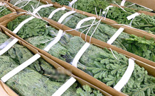 Thông Noel đi máy bay về Việt Nam, 30 triệu đồng/cây vẫn cháy hàng
