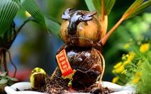 Tạo hình trâu từ bonsai dừa kiếm tiền triệu mùa Tết