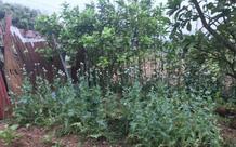 Lén lút trồng cây thuốc phiện trong vườn sẽ bị xử lý thế nào?