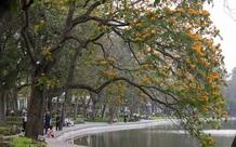 Người dân Hà Nội thích thú chiêm ngưỡng cây vàng anh đại thụ đang nở hoa rực rỡ một góc hồ Gươm