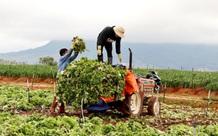 Hậu Giang kêu gọi tiêu thụ hàng trăm tấn trái cây, nông dân Đà Lạt phải cắt bỏ rau, hoa vì không kịp tiêu thụ