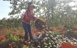 """Chanh dây Gia Lai trái """"to vàng đẹp"""" đang được giá, bán ngoài chợ 11.000 đồng/kg giúp nông dân thắng lớn"""